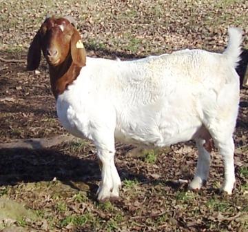 Boer Goat GR25746