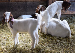 Boer goat and kids