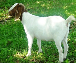 Boer Goat Staveley Knock Your Sox Of