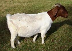 Boer Goat Staveley Sweet Pea
