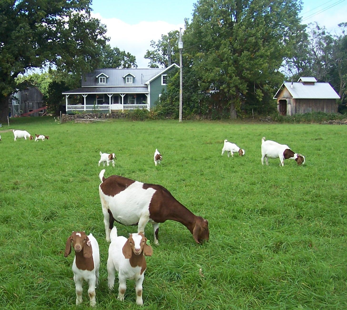 sept 23 2014 goats 063