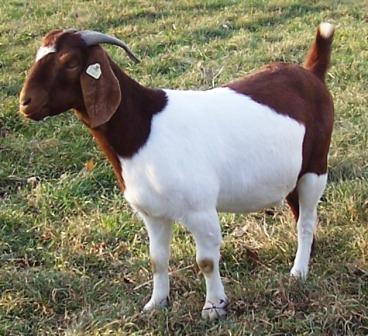 Boer Goat Staveley Colorful Cleoptri