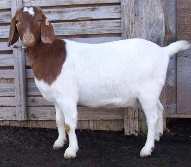 Boer Goat TR31187