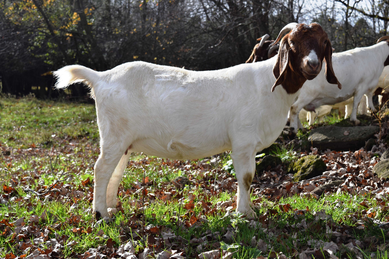 Boer Goat Staveley Sassy