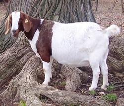 Boer Goat Staveley Raspberry Red
