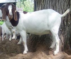 Boer Goat Staveley Pin Up Girl