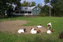sept 23 2014 goats 080