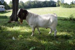 Boer Goat Galiman Supreme