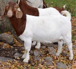 Boer Goat GR30849
