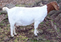 Boer Goat Staveley Foxy Lady