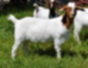 Boer  goat doeling