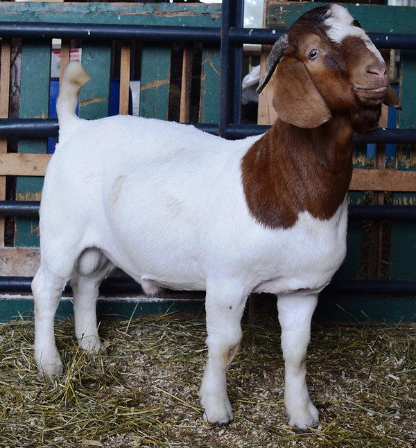 Boer Goat Buck