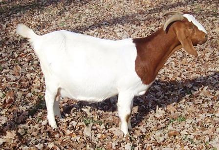 Boer Goat Staveley Ardeni