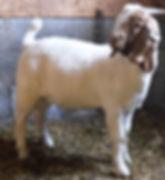 Boer Buck Kid