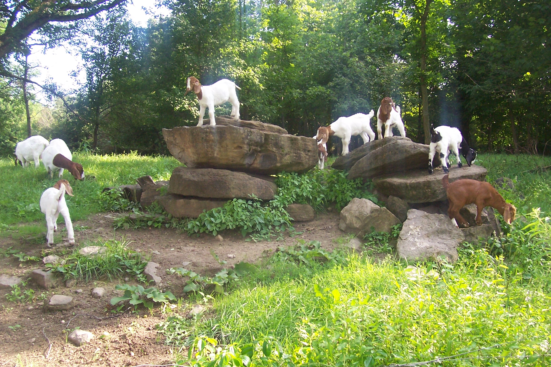 Boer goat kids on rocks