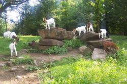 Boer goat kids on rocks