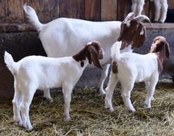 Boer doe and kids