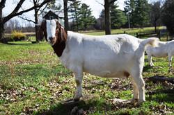Boer goat Cr318888