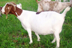 Boer Goat Staveley ACR Akim Sunshine