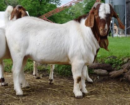 Boer Goat Staveley Superman