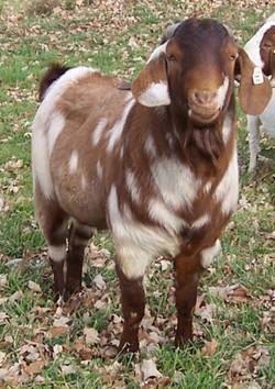 Boer goat Making Spots