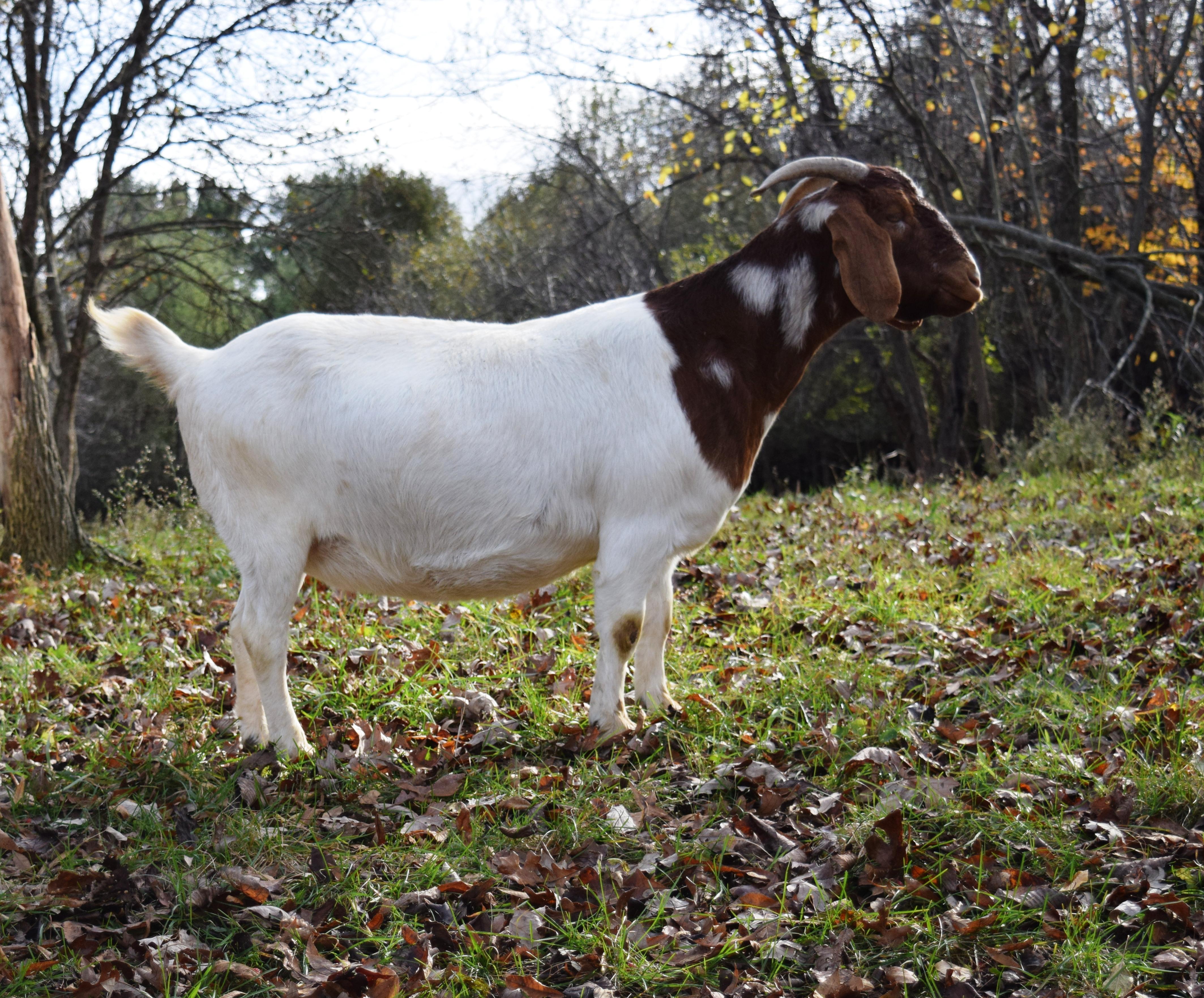 Boer Goat R32204