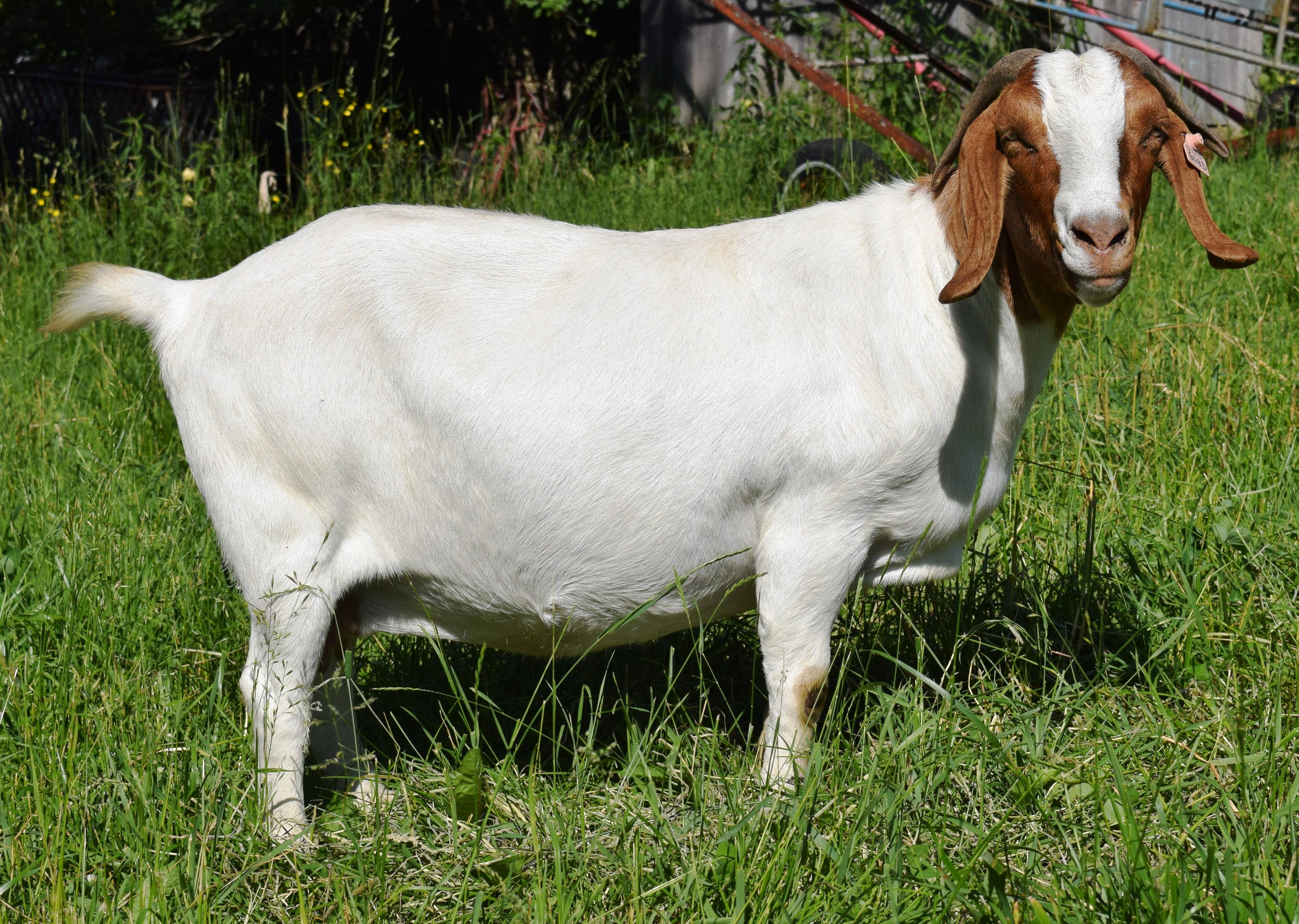 Boer goat GR33150