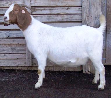Boer Goat CR31185
