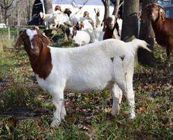 Boer Goat (CR32910)