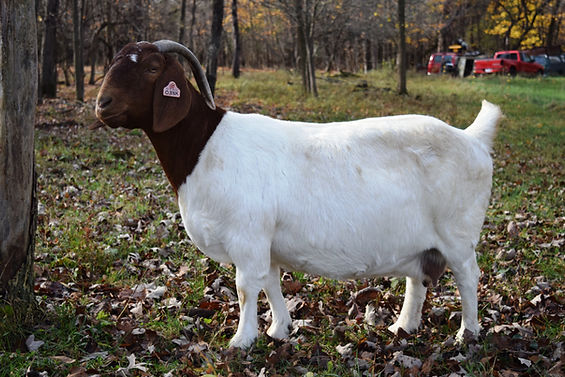 Boer Goat Doe in field