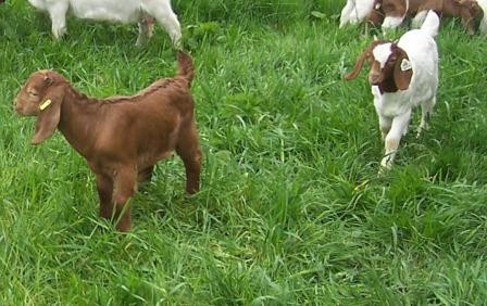 Boer Goat Kids