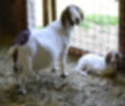 Boer goat doe with her baby