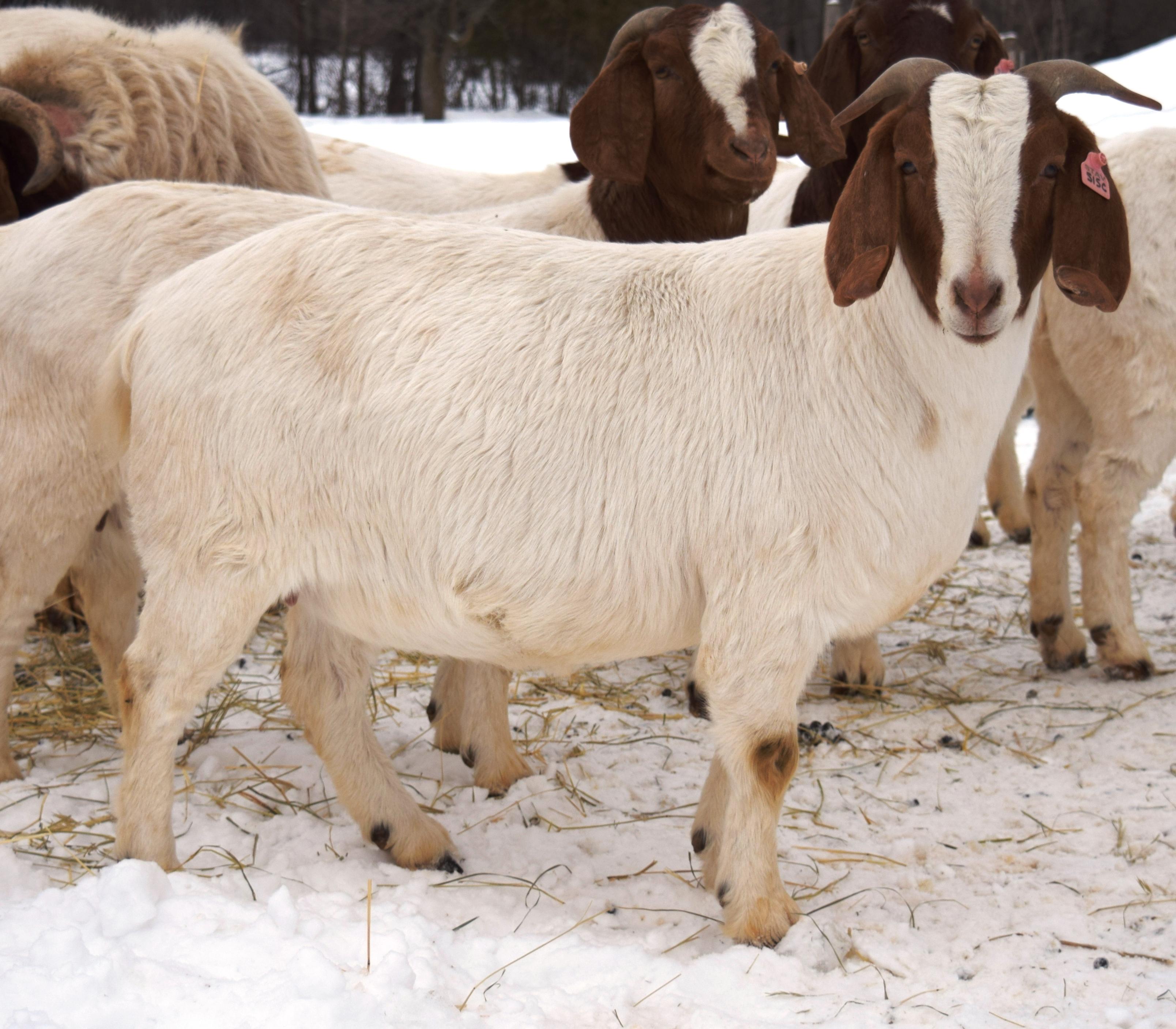 Boer Goat TR32526