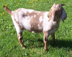 Boer Goat Staveley Galaxy