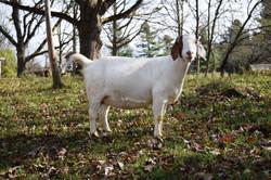 Boer goat Doe RCR32205
