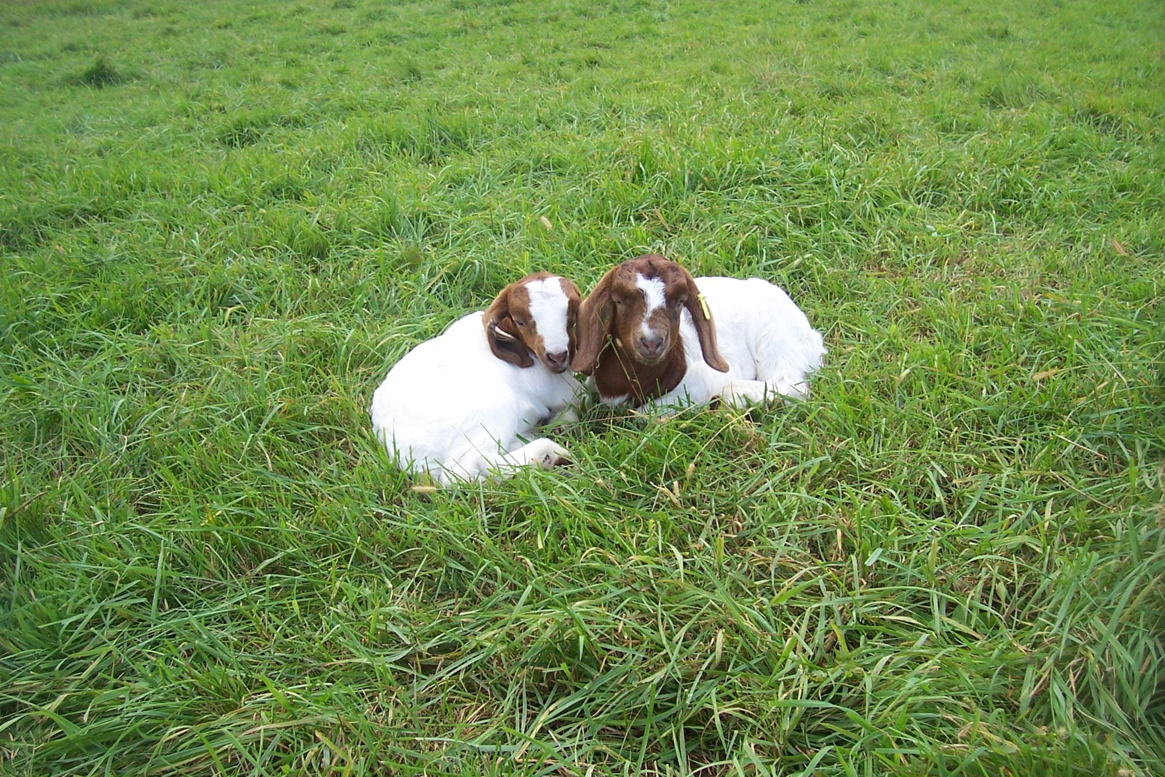sept 23 2014 goats 111