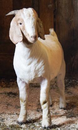 Boer buckling