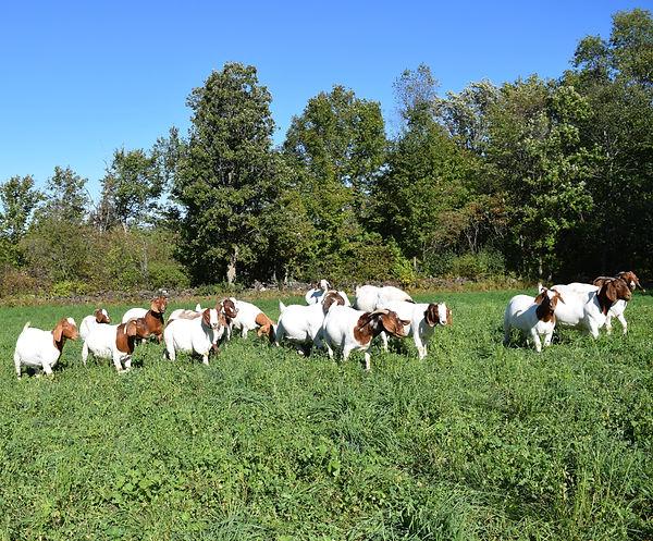 Boer Goat Herd