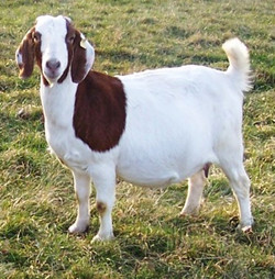 Boer Goat Staveley Awesome Wild One