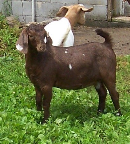 spots black baby goat