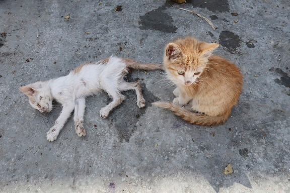 Starving and infected kittens