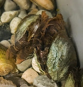 Gravid rainbow mussels (Villosa iris)