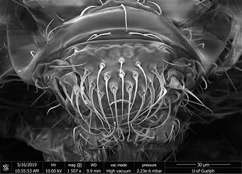 The head of the springtail Folsomia candida under a scanning electron microscope. This species is used by our group to investigate the toxicity of chemicals i soil ecosystems.