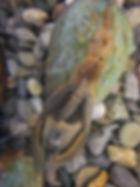 Gravid pocketbook mussel (Lampsilis fasciola)