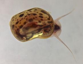 Juvenile ramshorn snail (Planorbella pilsbryi)