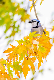 BLUEJAY BEHIND THE MAPLE LEAVES