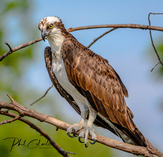 OSPREY CONCENTRATING ON FISHING