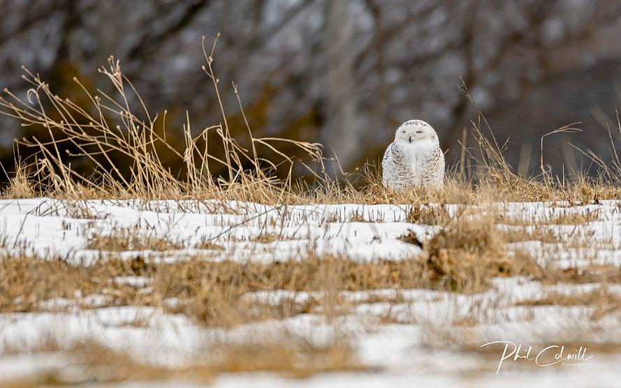 SNOWY OWL-3731.jpg