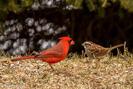 CARDINAL AND WHITE BREASTED SPARROW