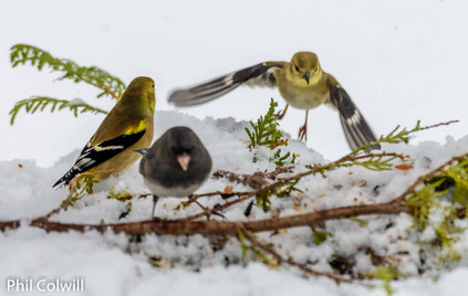 INCOMING FINCH